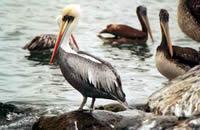 Sitio de Nidificación de Aves del Norte de Chile Está en Peligro de Desaparecer
