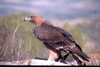 El águila perdicera, Ave del año